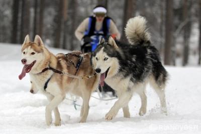 Что знают о гонках на собачьих упряжках?
